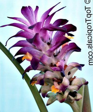Pourpre fleur curcuma photo herbeux for Plante interieur curcuma