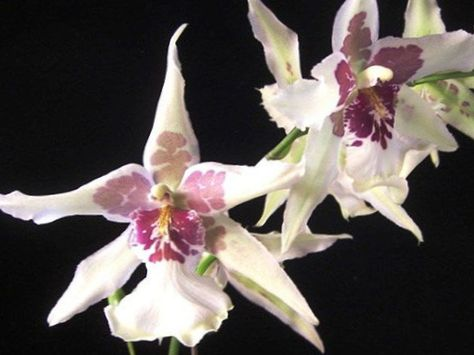 Pot Flower Dancing Lady Orchid Cedros Bee Leopard Orchid