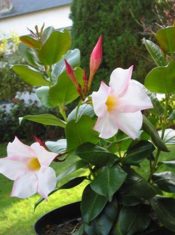 white pot flower dipladenia mandevilla photo hanging plant. Black Bedroom Furniture Sets. Home Design Ideas