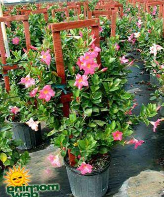 pink pot flower dipladenia mandevilla photo hanging plant. Black Bedroom Furniture Sets. Home Design Ideas