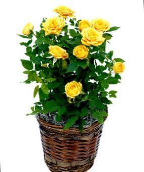 Geel bloem rose foto struik - Giftige zimmerpflanzen baby ...