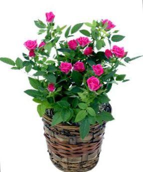 Roze bloem rose foto struik - Giftige zimmerpflanzen baby ...