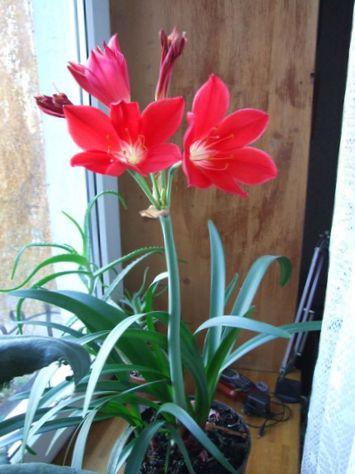 валлота цветок фото