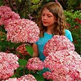 photo: buy 100 PCS / Bag Exotic Onion Seeds Giant Allium Seeds Multicolor Balcony Potted Flowers Semillas De Flores online, best price $3.22 new 2018-2017 bestseller, review