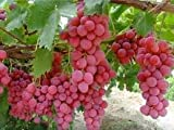 photo: buy GiAnT~(Seedless)~Pink Reliance GRAPE Seed~1 Seed ONLY online, best price $3.99 new 2018-2017 bestseller, review