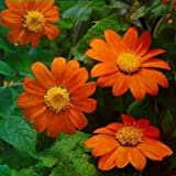 photo: buy Outsidepride Mexican Sunflower Orange - 500 Seeds online, best price $6.49 new 2018-2017 bestseller, review