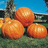photo: buy Pumpkin BIG MAX Great Heirloom Vegetable By Seed Kingdom 20 Seeds online, best price $0.99 new 2017-2016 bestseller, review