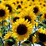 photo: buy Outsidepride Sunflower Wild - 1000 Seeds online, best price $6.49 new 2018-2017 bestseller, review
