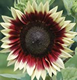 photo: buy David's Garden Seeds Sunflower Strawberry Blonde DGS1744OP (Multi) 25 Hybrid Seeds online, best price $8.49 new 2017-2016 bestseller, review