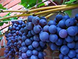 photo: buy American Juice Table Grape 10 Seeds UPC 648620997661 + 1 Plant Marker Juice Jelly Grape online, best price $4.99 new 2018-2017 bestseller, review