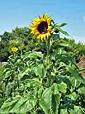 photo: buy Sunflower, Mammoth Grey Stripe 25+ Seeds Organic Newly Harvested, 8-12 Foot Tall online, best price $1.98 new 2018-2017 bestseller, review