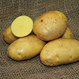 photo: buy SEED POTATOES - 1 lb German Butterball * Organic Grown * Non GMO * Virus & Chemical Free * Ready for Spring Planting * online, best price $8.51 new 2018-2017 bestseller, review