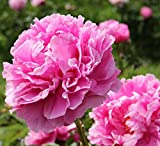 photo: buy Dr Alexander Fleming Peony/Peonies - 3-5 Eyes - Heavy Potted - Perennial - Each 1 Trade Gal by Growers Solution online, best price $12.95 new 2017-2016 bestseller, review