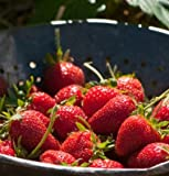 photo: buy 75+ Organic Elan Strawberry Seeds - DH Seeds - UPC0687299670796 online, best price $5.69 new 2018-2017 bestseller, review