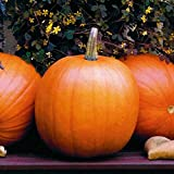photo: buy David's Garden Seeds Pumpkin Jack O'Lantern Z9831LK (Orange) 50 Heirloom Seeds online, best price $8.49 new 2018-2017 bestseller, review