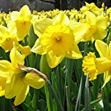 photo: buy Dutch Master Daffodil 50 Bulbs -Deer & Rodent Resistant - 14/16 cm Bulbs … online, best price $29.95 new 2017-2016 bestseller, review