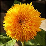 photo: buy Package of 100 Seeds, Tall Teddy Sunflower (Helianthus annuus) Non-GMO Seeds by Seed Needs online, best price $3.65 new 2017-2016 bestseller, review