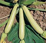 photo: buy COURGETTE ZUCCHINI SUMMER SQUASH LONG WHITE LUNGO BIANCA 10 ORGANIC seeds online, best price $9.99 new 2018-2017 bestseller, review