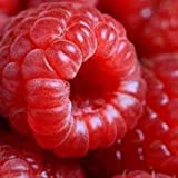 photo: buy 50 Seeds Jumbo RED Raspberry Bush Seeds Rubus Raspberries Sweet Fruit online, best price $1.95 new 2018-2017 bestseller, review