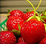 photo: buy Mara Des Bois French Everbearing Strawberry 25 Plants - BEST FLAVOR! - Bare Root online, best price $15.99 new 2018-2017 bestseller, review