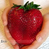 photo: buy Rarest Heirloom Super Giant Japan Red Strawberry Organic Seeds, Professional Pack, 100 Seeds / Pack, Sweet Juicy Fruit online, best price $10.00 new 2018-2017 bestseller, review