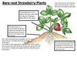 photo: buy Evie 25 Everbearing Bare Root Strawberry Plants online, best price $17.27 new 2018-2017 bestseller, review