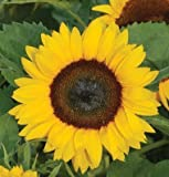 photo: buy David's Garden Seeds Sunflower Sunny Smile D1805R (Yellow) 25 Hybrid Seeds online, best price $8.49 new 2018-2017 bestseller, review