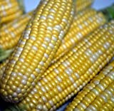 photo: buy Peaches & Cream Sweet Corn - 300 Seeds - VALUE PACK! online, best price $3.99 new 2018-2017 bestseller, review