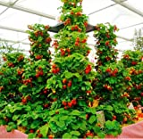 photo: buy New Red giant Climbing Strawberry 500+ Seeds online, best price $2.20 new 2019-2018 bestseller, review