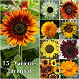 photo: buy Package of 250 Seeds, Sunflower