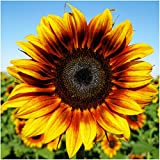 photo: buy Package of 85 Seeds, Firecracker Sunflower (Helianthus annuus) Non-GMO Seeds By Seed Needs online, best price $3.65 new 2018-2017 bestseller, review