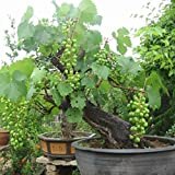 photo: buy Bonsai Green Grapes Seeds Pot Dwarf Fruit Home Garden Climbing Tree Rapid Growth Variety - 5pcs/lot online, best price $8.99 new 2017-2016 bestseller, review