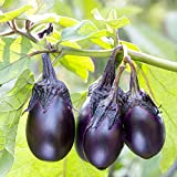photo: buy Eggplant Patio Baby Mini, 15 seeds online, best price $3.99 new 2018-2017 bestseller, review