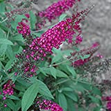 photo: buy CranRazz Butterfly Bush - Live Plant - Trade Gallon Pot online, best price $29.99 new 2017-2016 bestseller, review