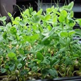photo: buy Speckled Pea Sprouting Seeds - 1 Lbs - Certified Organic, Non-GMO Green Pea Sprout Seeds - Sprouts & Microgreens online, best price $8.30 new 2018-2017 bestseller, review