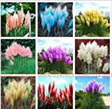 photo: buy 500 Pcs Pampas Grass Seed Patio and Garden Potted Ornamental Plants New Flowers (Pink Yellow White Purple) Cortaderia Grass Seed online, best price $1.75 new 2018-2017 bestseller, review