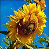 photo: buy Package of 160 Seeds, Mammoth Grey Stripe Sunflower (Helianthus annuus) Non-GMO Seeds by Seed Needs online, best price $3.65 new 2018-2017 bestseller, review