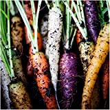 photo: buy Package of 800 Seeds, Rainbow Carrots (Daucus carota) Non-GMO Seeds By Seed Needs online, best price $3.65 new 2018-2017 bestseller, review