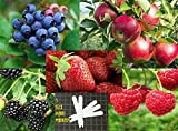 photo: buy Fruit Combo Pack Raspberry, Blackberry, Blueberry, Strawberry, Apple (Organic) 525+ Seeds 647923989472 Self Fertile + 5 Free Plant Marker - Stocking Stuffers online, best price $12.00 new 2018-2017 bestseller, review