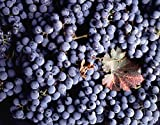 photo: buy Vitis vinifera Cabernet Sauvignon WINE GRAPE Seeds! online, best price $14.96 new 2018-2017 bestseller, review