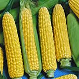 photo: buy CORN, GOLDEN BEAUTY, HEIRLOOM, NON-GMO, ORGANIC 100 SEEDS, DELICIOUS, GOLDEN AND SWEET online, best price $3.08 new 2018-2017 bestseller, review