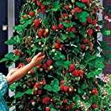 photo: buy Red 100pcs Strawberry Climbing Strawberry Fruit Plant Seeds Home Garden New online, best price $1.33 new 2018-2017 bestseller, review