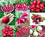photo: buy PLEASE READ! THIS IS A MIX!!! 100+ ORGANICALLY GROWN Radish MIX 9 Varieties Seeds, Heirloom NON-GMO, Colorful, Pink, Red, White, Sweet and Mild, From USA online, best price $2.65 new 2017-2016 bestseller, review
