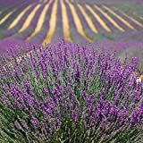 photo: buy 500 TRUE ENGLISH LAVENDER VERA Lavender Augustifolia Vera Herb Flower Seeds online, best price $1.45 new 2018-2017 bestseller, review