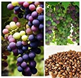photo: buy Homegrown Grape Seeds, 20 Seeds, Delicious Bicolor Grape Variety online, best price $4.78 new 2018-2017 bestseller, review