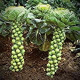 photo: buy Brussels Sprout Seeds - 200+ Rare Heirloom Brussel Sprout Seeds (Long Island Improved) Yields 50-100 Sprouts per Plant! Guaranteed to Grow online, best price $1.83 new 2018-2017 bestseller, review